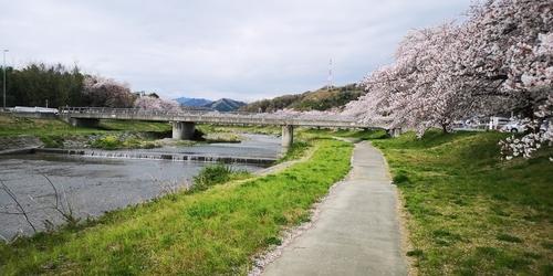 桜が綺麗.jpg